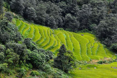 Rice field in Nepal Royalty Free Stock Photos