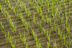 Rice field in new planting season Stock Photo