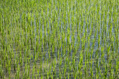 Rice field in new planting season Stock Photography