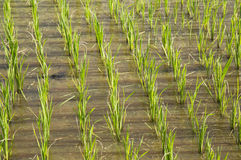 Rice field in new planting season Royalty Free Stock Image