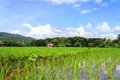 Rice field at noon Royalty Free Stock Photos