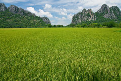 Rice field in north of Thailand Stock Images