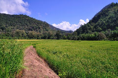 Rice Field, North of Thailand Royalty Free Stock Images