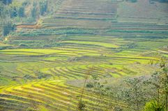Rice field in Vietnam. Rice field in Northern Vietnam in the spring Royalty Free Stock Photography