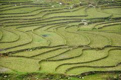 Rice field in Vietnam. Rice field in Northern Vietnam in the spring Stock Images