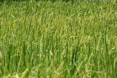 Rice field. Are not  produce grains , still are green Royalty Free Stock Photo