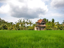 Rice field with an old house, palm trees Stock Photo