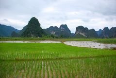 Free Rice Field On The Valley Royalty Free Stock Image - 5481556