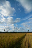 Rice field, sky and clouds. Landscape of rice field, clouds and blue sky Stock Images