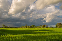 Rice Field. Paddy field and cloudy sky Royalty Free Stock Photography