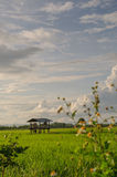 Rice Field. Paddy field at the evening Royalty Free Stock Photos