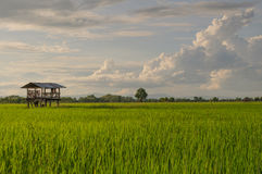 Rice Field. Paddy field at the evening Royalty Free Stock Photography