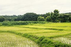 Rice field paddy farm landscape Royalty Free Stock Photos
