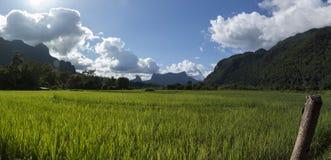 Rice field paddy Royalty Free Stock Photo