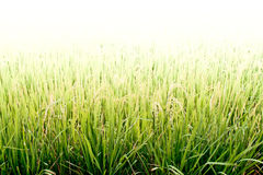 Rice field. Royalty Free Stock Photography