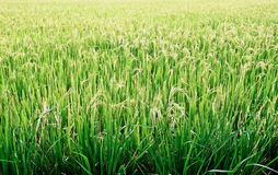 Rice field. Stock Photos