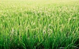 Rice field. Stock Photos