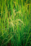 Rice field. Royalty Free Stock Photo