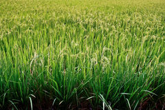 Rice field. Stock Images