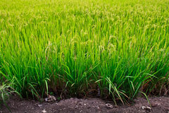 Rice field. Stock Photography