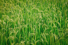 Rice field. Stock Photo