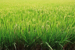 Rice field. Stock Image