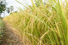 Rice field paddy in plant Stock Photo