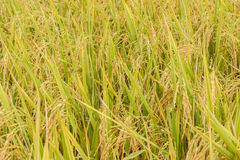 Rice field paddy in plant Royalty Free Stock Photos