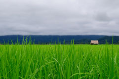 Rice Field. Paddy field and Rainy  day Royalty Free Stock Photography