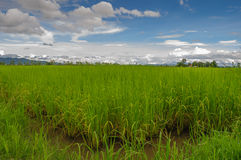Rice Field. Paddy field and sunny day Stock Image