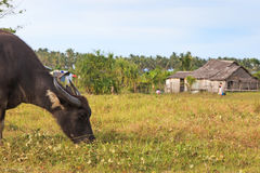 Rice field in Palawan, Philippines, with water buffalo (Carabao) Stock Photography