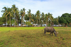 Rice field in Palawan, Philippines, with water buffalo (Carabao) Stock Image