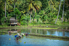 Farmers working in a rice field in Indonesia. Rice field and palm grove near Lombok West Coast, Indonesia Royalty Free Stock Photography