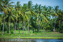 Women working in a rice field in Indonesia. Rice field and palm grove near Lombok West Coast, Indonesia Royalty Free Stock Image