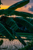 Rice field and palm on sunset stock photography