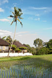 Rice field and palm tree. A rice field in a village near Ubud, Bali, Indonesia Royalty Free Stock Photo