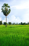 Rice field with palm tree Stock Images