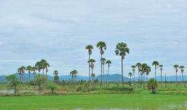 The rice field and palm tree Stock Photos