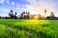 Rice field with palm tree backgrond in morning, Phetchaburi Thai. Land Stock Image