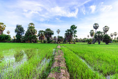Rice field with palm tree backgrond in morning, Phetchaburi Thai. Land royalty free stock image