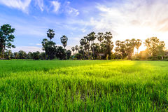 Rice field with palm tree backgrond in morning, Phetchaburi Thailand.  royalty free stock images