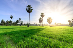 Rice field with palm tree backgrond in morning, Phetchaburi Thailand.  royalty free stock image