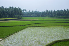 Rice field with palm tree background. In India stock photography
