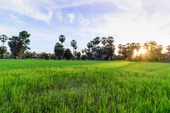 Rice field with palm tree background in morning, Phetchaburi Thailand Royalty Free Stock Images