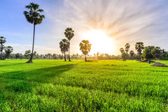 Rice field with palm tree background in morning, Phetchaburi Thailand Stock Images