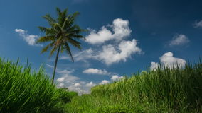 Rice field and palm tree stock video footage
