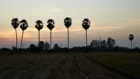 Rice field and palm tree Stock Image