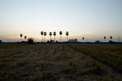 Rice field and palm tree Royalty Free Stock Images