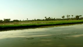 Rice field with palm trees, Beautiful nature rice field with small pond. Beautiful nature rice field with palm trees, small pond stock video footage