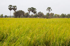 Rice Field and Palm Trees in Cambodia Asia Stock Photography